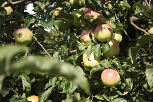Dejlige æbler på GAPS-kuren